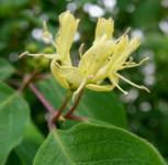 Immergrüne Geißschlinge 60-80cm - Lonicera henryi