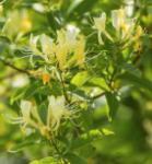 Japanisches Geisblatt 60-80cm - Lonicera japonica