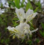 Winter Heckenkirsche 60-80cm - Lonicera purpusii