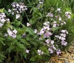 Silberling - Lunaria annua