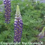 Gartenlupinie Kastellan - Lupinus polyphyllus