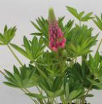 Gartenlupinie Red Shades - großer Topf - Lupinus polyphyllus