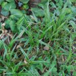 Waldmarbel Marginata - Luzula sylvatica