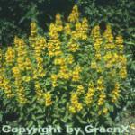 Gefleckter Gold Felberich Alexander - Lysimachia punctata