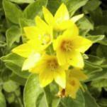 Gefleckter Gold Felberich - Lysimachia punctata
