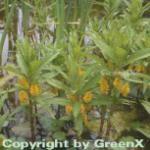 Strauß Felberich - Lysimachia thyrisflora