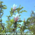 Tuplen Magnolie Heaven Scent 125-150cm - Magnolia