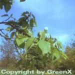 Gurkenmagnolie 80-100cm - Magnolia acuminata
