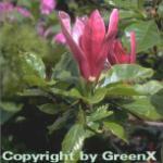 Purpur Magnolie 80-100cm - Magnolia liliiflora