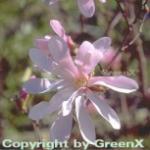Sternmagnolie Leonard Messel 125-150cm - Magnolia loebneri