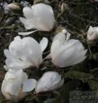 Sternmagnolie Merrill 100-125cm - Magnolia loebneri