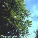 Großblättrige Magnolie 125-150cm - Magnolia macrophylla