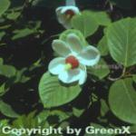 Siebolds Magnolie Colossus 100-125cm - Magnolia sieboldii