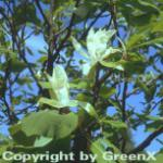Schirmmagnolie 100-125cm - Magnolia tripetala