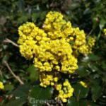 Mahonie Smaragd 30-40cm - Mahonia wagneri