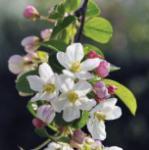 Zierapfel Adirondack 60-80cm - Malus