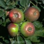Apfelbaum Rheinischer Winterrambour 60-80cm - grünrote Früchte
