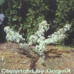 Zierapfel Tina 100-125cm - Malus Hybride