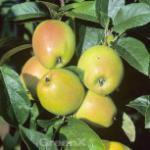 Apfelbaum Weißer Winterglockenapfel 60-80cm - eine milde Säure