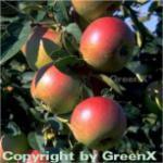 Apfelbaum Laxrons SuperB 60-80cm - fest und feinwürzig