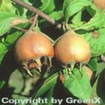 Mispel 80-100cm - Mespilus germanica