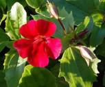 Gauklerblume Roter Kaiser - Mimulus cupreus