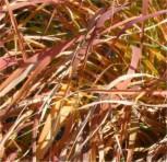Chinaschilf Purpur - Miscanthus purpurascens
