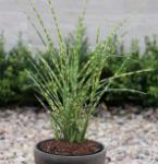 Chinaschilf Gold Bar - Miscanthus sinensis