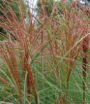 Chinaschilf Graziella - Miscanthus sinensis