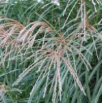 Chinaschilf Hermann Müssel - Miscanthus sinensis