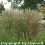Chinaschilf Kleine Silberspinne - Miscanthus sinensis