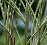 Chinaschilf Morning Light- XXXL Topf - Miscanthus sinensis