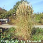 Chinaschilf Silberspinne - Miscanthus sinensis