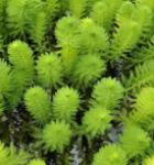 Brasilianisches Tausendblatt - Papageienfeder - Myriophyllum aquaticum
