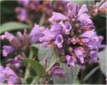 Himalaya Katzenminze Sweet Dreams - Nepeta subsessilis