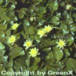 Seerose Marliacea Chromatella - Nymphaea