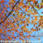 Wald Tupelobaum 100-125cm - Nyssa sylvatica