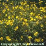 Gemeine Nachtkerze - Oenothera biennis