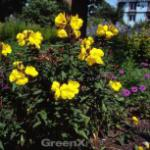 Nachtkerze Frühlingsgold - Oenothera fruticosa