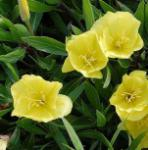 Duftende Nachtkerze Yella Fella - Oenothera pilosella