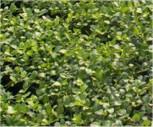 Schlangenbart Minor - Ophiopogon japonicus