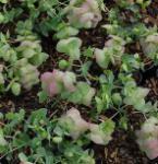 Rundblättriger Majoran Kent Beauty - Origanum rotundifolium