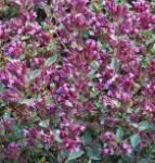 Wilder Majoran Rosenkuppel - Origanum vulgare