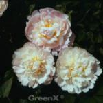 Edelpfingstrose Alexandra Duff - Paeonia lactiflora