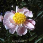 Edelpfingstrose Angelika Kauffmann - Paeonia lactiflora