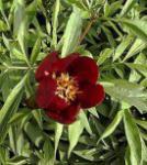 Edelpfingstrose Early Scout - Paeonia cultorum