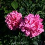 Edelpfingstrose Edulis Superba - Paeonia lactiflora