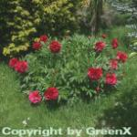 Pfingstrose Rubra Plena - Paeonia officinalis