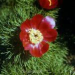 Netzblatt Pfingstrose - Paeonia tenuifolia
