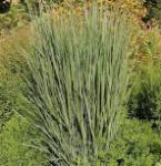Rutenhirse Northwind - Panicum virgatum